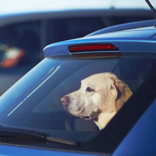 pas u automobilu